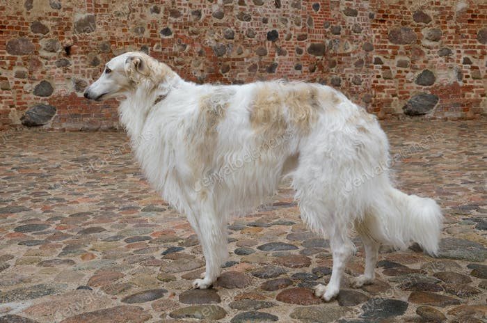 Standing russian wolfhound