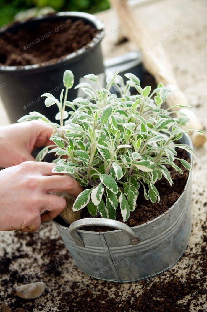 Planting sage