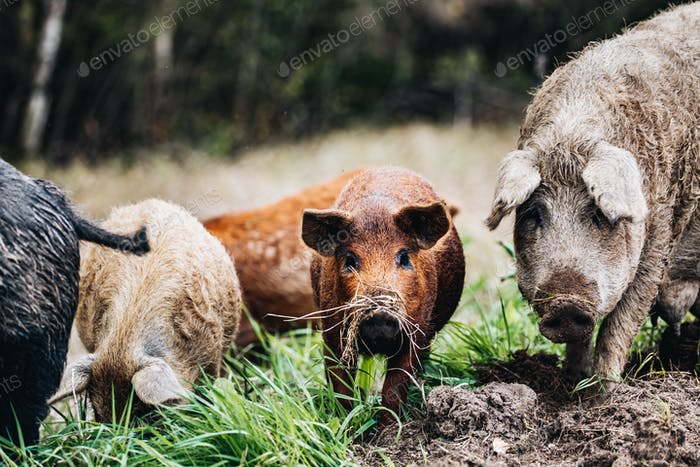 Wild boars (Sus scrofa) animal family with baby boar in autumn forest