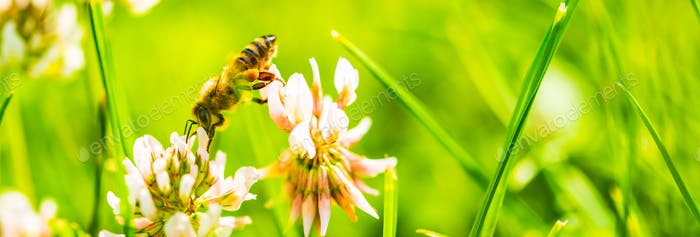 Honey bee on white flower while collecting pollen on green blurred background close up macro