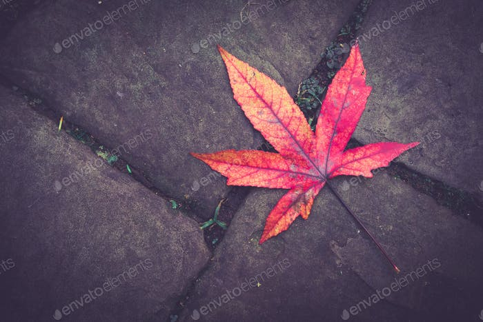 Red and purple autumnal leaf