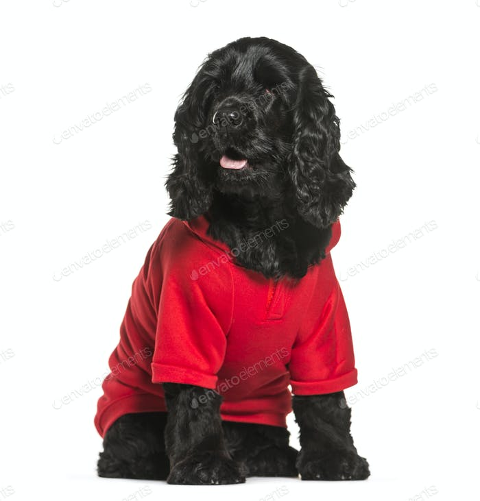 Sitting English Cocker Spaniel wearing dog a red coat, cut out