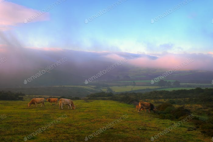 Herd of cows grazing at dawn