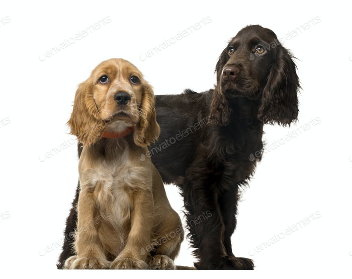 Couple of an English Cocker Spaniel puppies, isolated on white