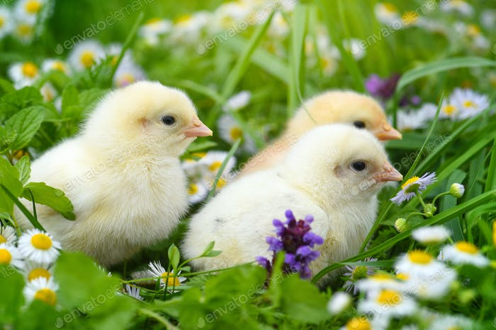 Little chickens on green grass with daisies