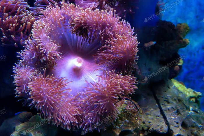 Purple Beadlet Anemone or Actinia equina in water