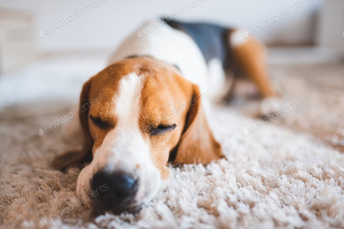Dog beagle breed sleeps on carpet