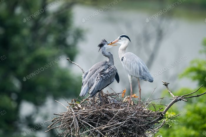 grey heron family on nest,  ardea cinerea feeding