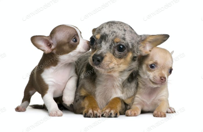 Chihuahua mother and her 2 puppies, 8 weeks old, in front of white background