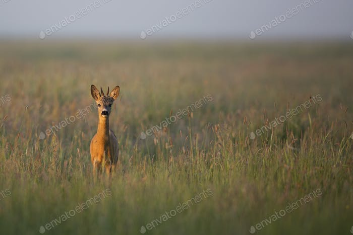 Young Buck deer iin the morning mist