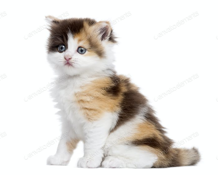 Side view of a Highland straight kitten sitting, isolated on white