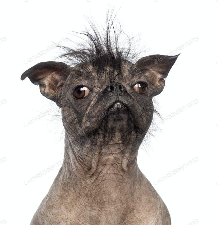 Close-up of a Hairless Mixed-breed dog
