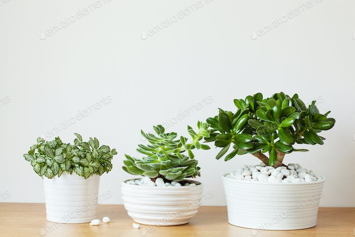 houseplants fittonia albivenis, crassula ovata, echeveria in whi