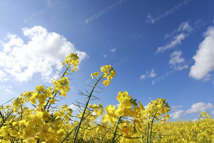 rapeseed flowers over blue sky