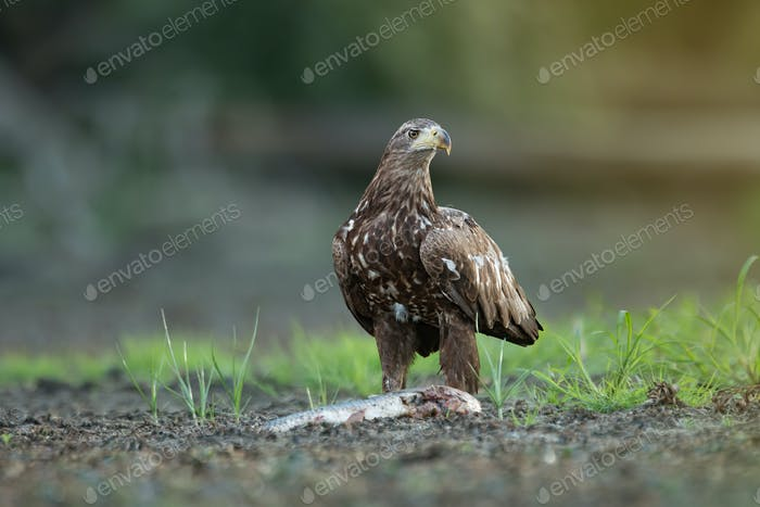 Juvenile white-tailed eagle eating fish on a river bank in riparian forest