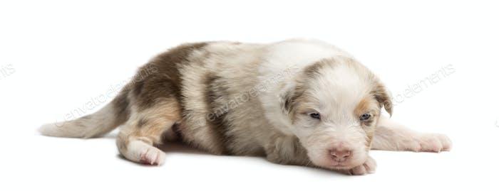Australian Shepherd puppy, 18 days old, lying against white background