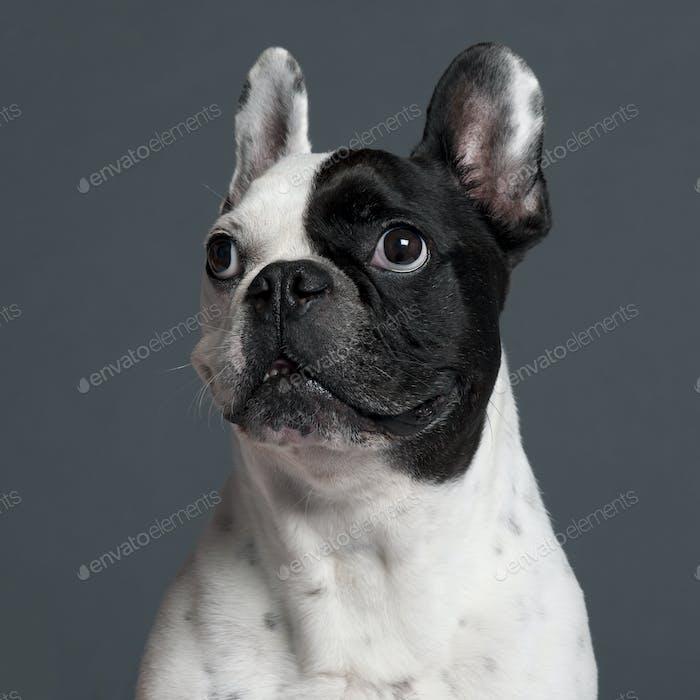 French Bulldog (9 years old)