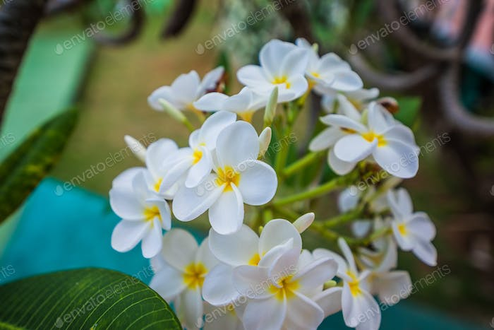White blooming flowers of Plumeria in Caribbean.