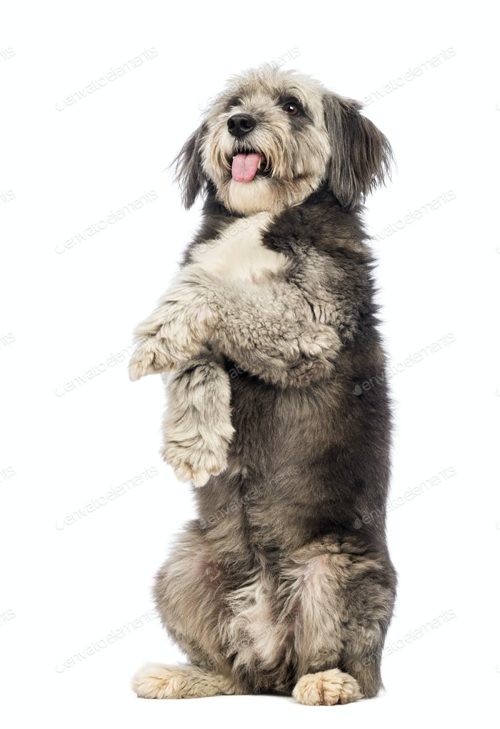 Crossbreed, 4 years old, standing on hind legs, panting and looking up in front of white background
