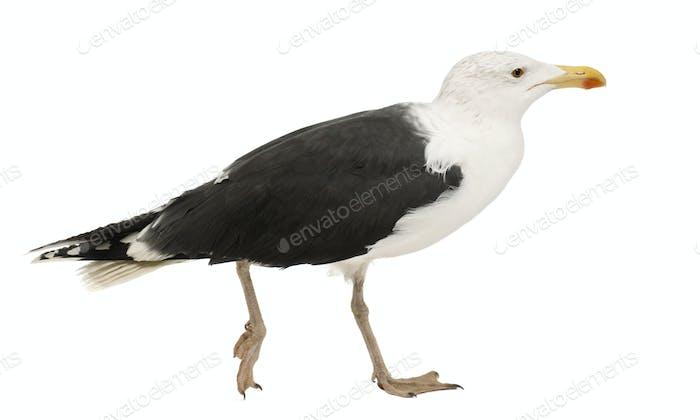 Great Black-backed Gull, Larus marinus, 4 years old, walking against white background