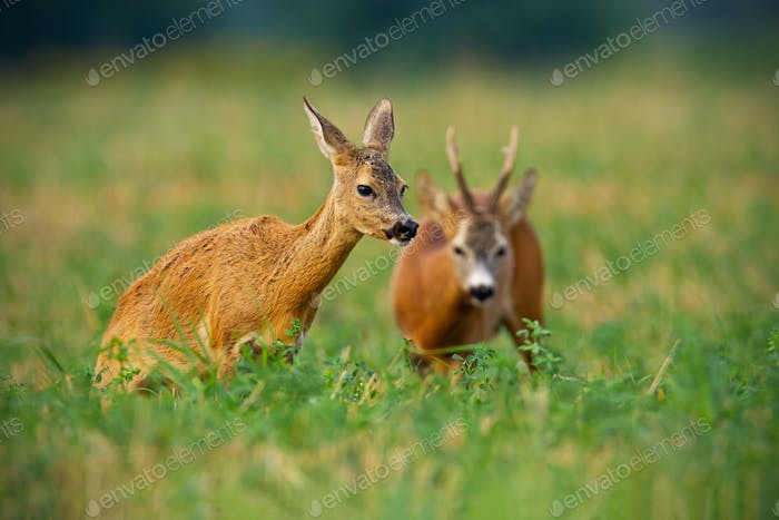 Couple of roe deer buck and doe standing on a stubble field with green clover