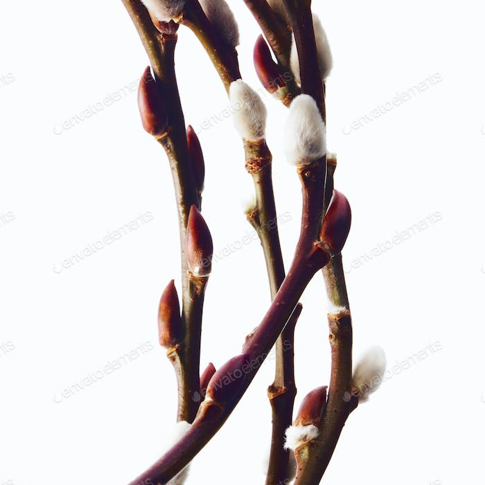 Twigs of budding flowering shrubs. Salix or pussywillow.