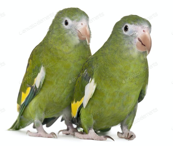 White-winged Parakeets, Brotogeris versicolurus, 5 years old, in front of white background