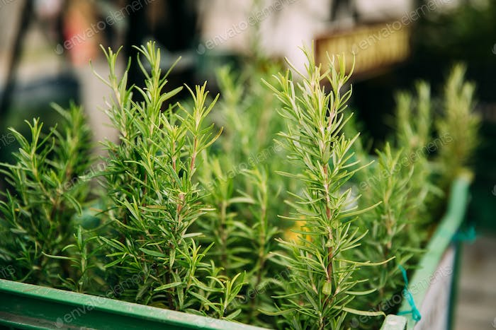 Leaves Of Green Rosemary. Perennial Herb With Fragrant, Evergree
