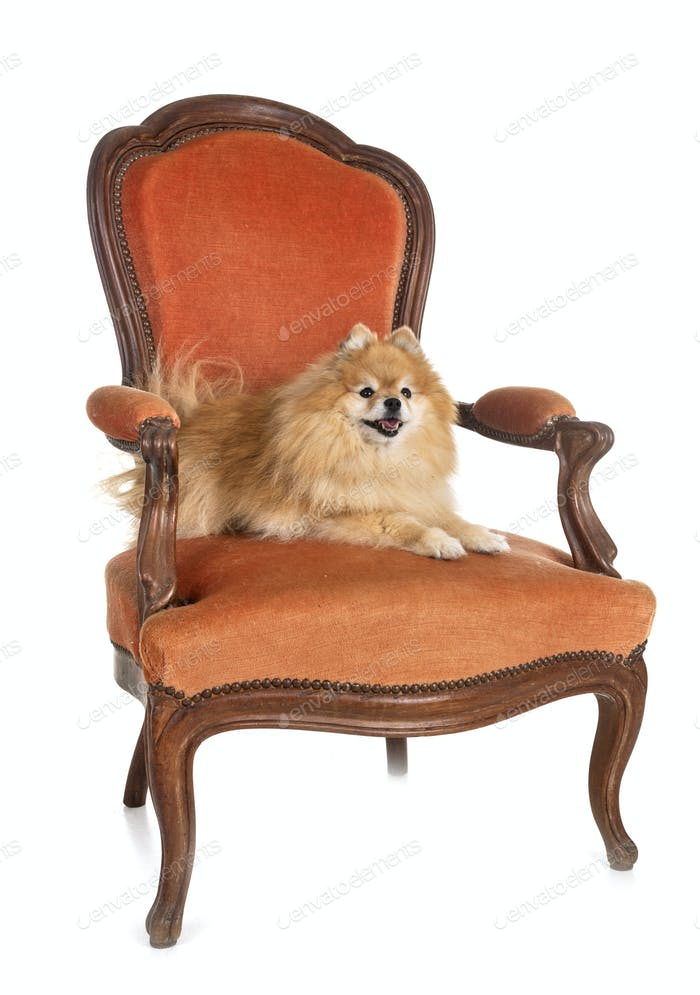 spitz on armchair