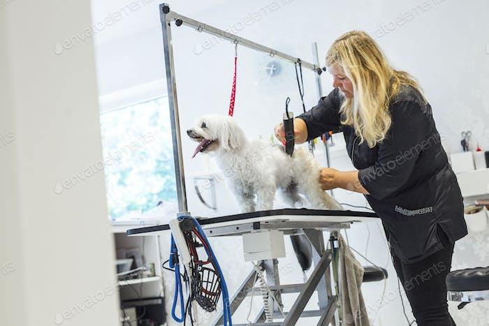 Female groomer trimming dog