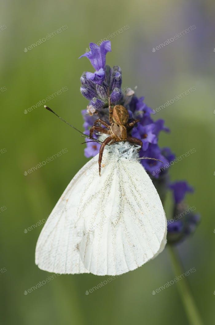 Krabbenspinne auf Blume