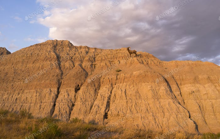 Wild Animal High Desert Bighorn Sheep Male Ram Badlands Dakota
