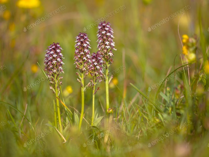 Group of burnt orchids