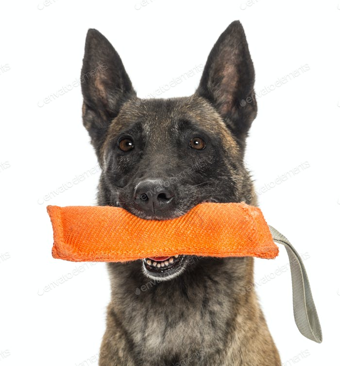 Close-up of a Belgian Shepherd holding a orange toy in mouth against white background