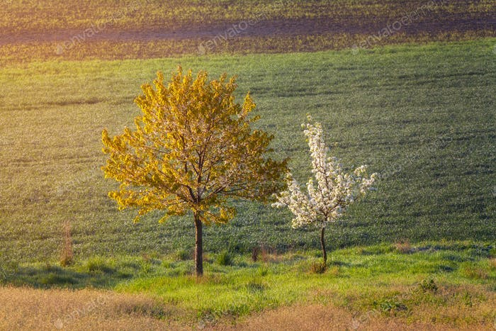 Blooming trees with flowers on the background of field