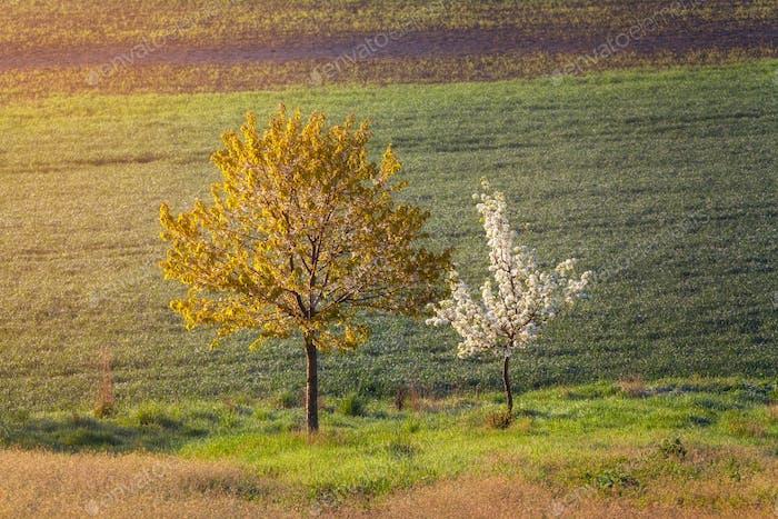 Blühende Bäume mit Blumen auf dem Hintergrund des Feldes