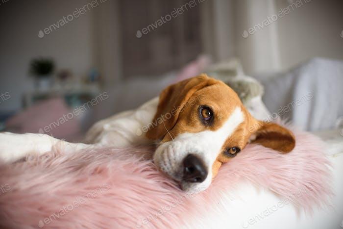 reinrassiger Beagle Hund liegend auf Couch Sofa im Wohnzimmer