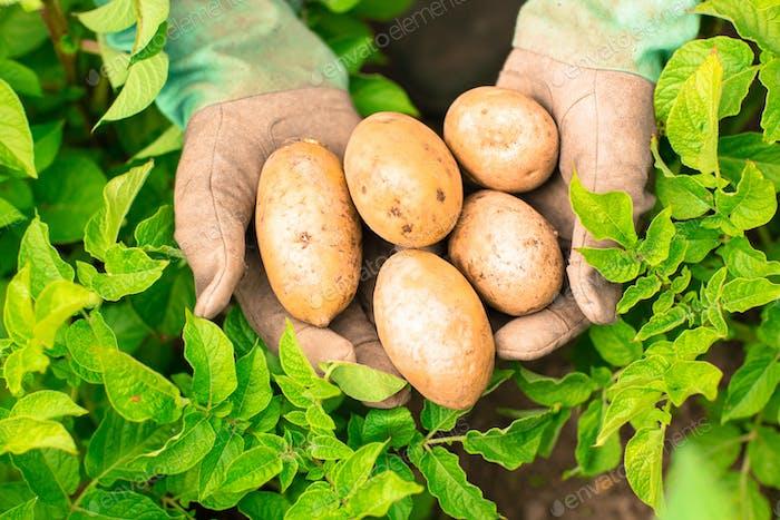 Hands presenting organic fresh potatoes wearing gardening gloves