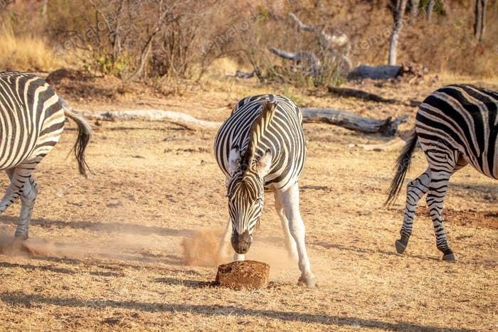 Zebra eating a mineral block in the grass.