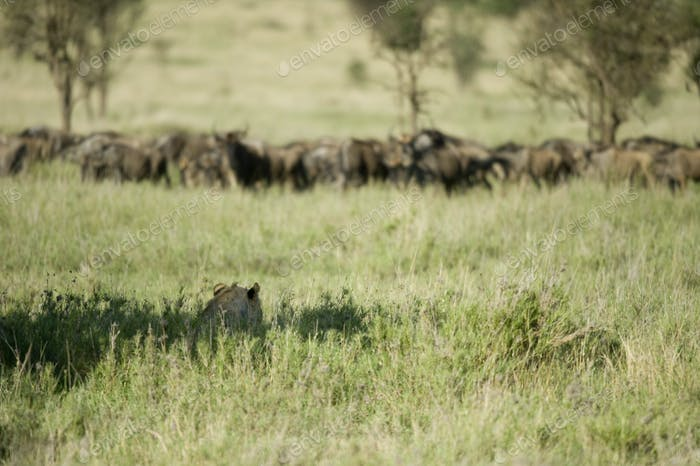 a lion is hidding for a herd of wildebeest