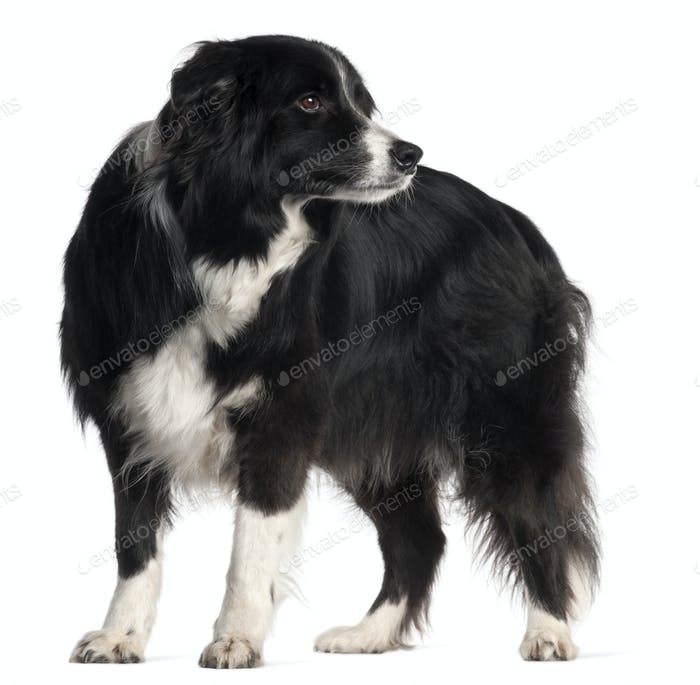 Border Collie, 9 years old, standing in front of white background