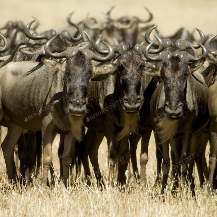 Nus Masai mara Kenia