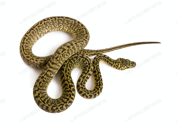 High angle view of Morelia spilota variegata, a subspecies of python, against white background