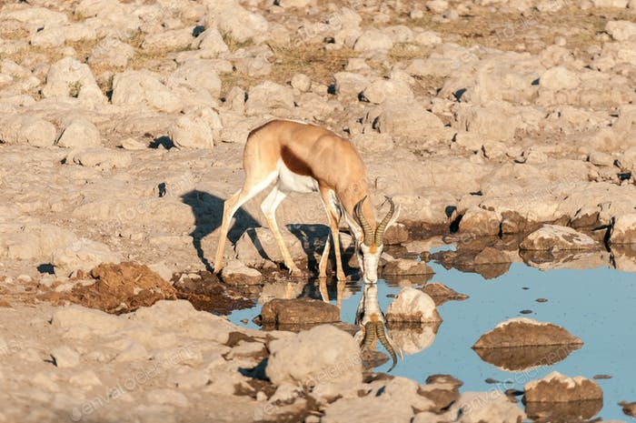A springbok with reflections drinking water