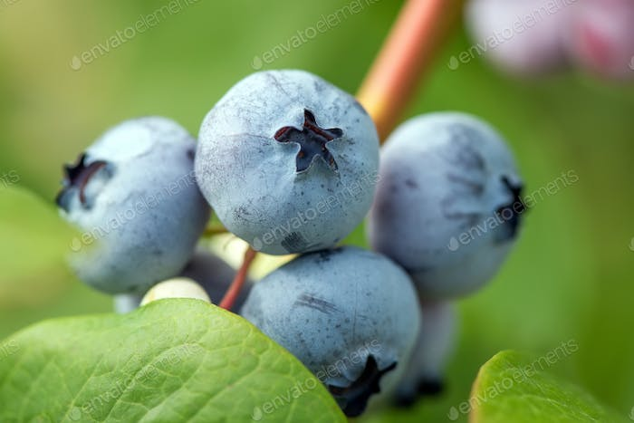 Fresh organic blueberries on the bush
