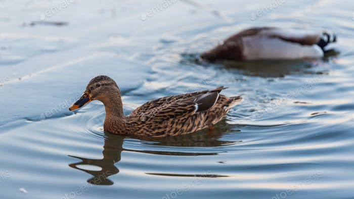 Wild ducks swimming on frozen lake in winter
