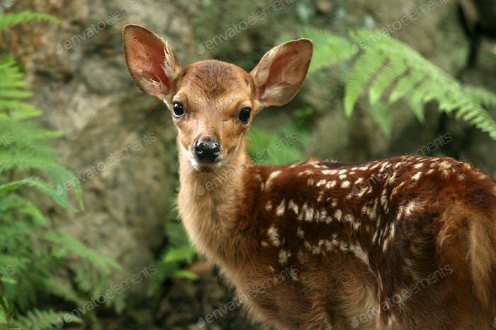 Baby Deer, Japan