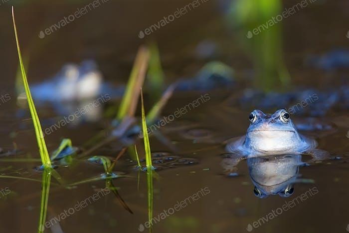 Moor frog in the wild