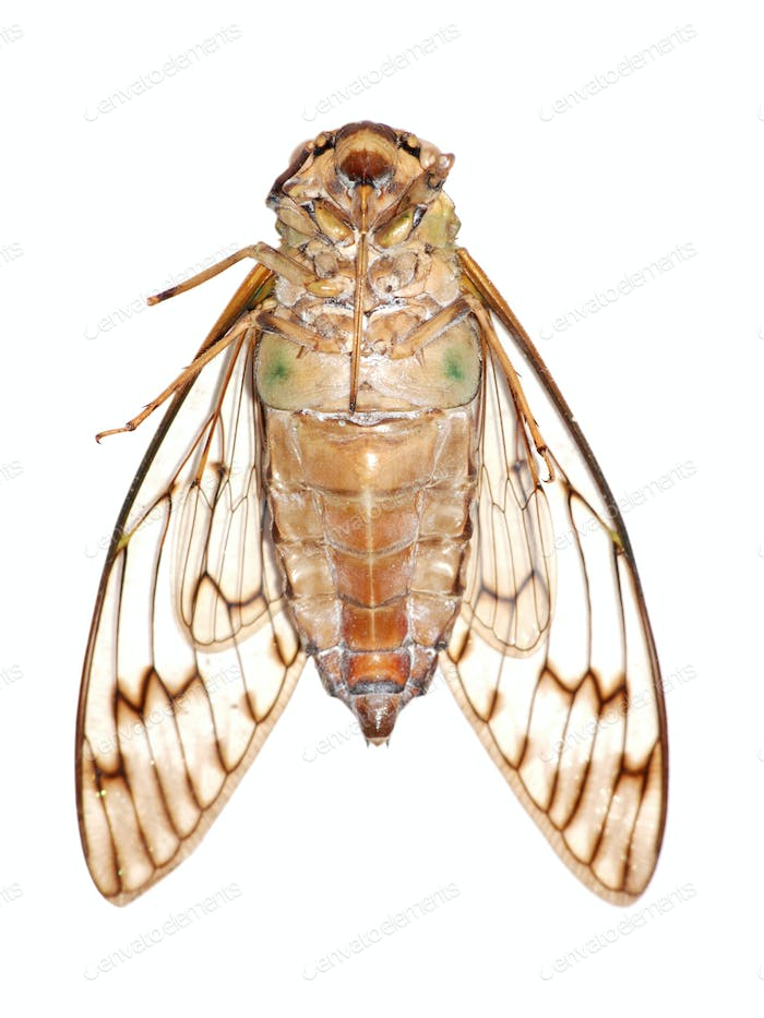 insect cicada