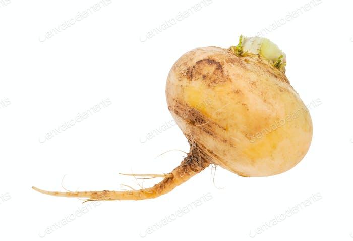 single taproot of fresh yellow turnip isolated